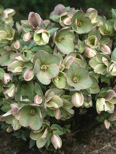 Helleborus x nigersmithii 'Walhelivor' PP 16,199 (Ivory Prince Lenten Rose) My new favorite Flower! It is sooo beautiful!