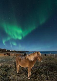 Und  noch ein wunderschönes Islandpferd im Schein des Nordlichts am Strand von Gimsøy auf den Lofoten. 29.10.2015 Foto: Vidar Lysevold