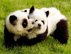 chows that look like pandas?!?! I WANT THAT