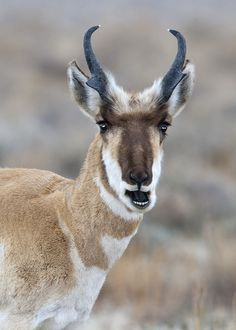 Pronghorn antelope - looks like he's talking to us
