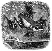 Illustration from The Malay Archipelago, depicting the flying frog discovered by Alfred Russel Wallace.