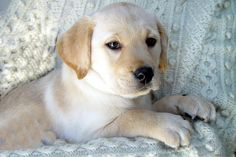 Getting a new puppy in October from Barefoot Kennels