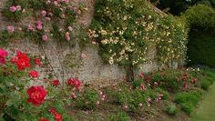 Tips for planting climbing roses under trees. How to plant climbing roses on walls. Planting instructions for bare root climbers and potted rambling roses. Old Brick Wall, Plant Guide, Rose Wall, Growing Roses, Climbing Roses, Home And Garden, Stone, Flowers, Plants