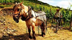 🍇🍇🍇🍇 Koně na vinici