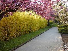 Forsythia hedges