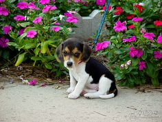 Sierra (my Beagle) When she was a baby by BDixon Photography, via Flickr