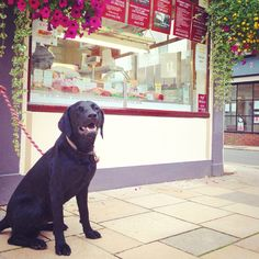 I'm laughing because my Mummy's in the butchers shop and she's getting me a bone! #simmy #labrador #dog #laughing #cute #sweet #adorable #butcher #quaint #village #shop #villageshop #hangingbaskets #english #flowers #traditional #vintage #blacklab #labrador #doglover #ilovemydog