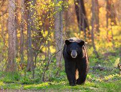 Black Bears - LisaAikenhead