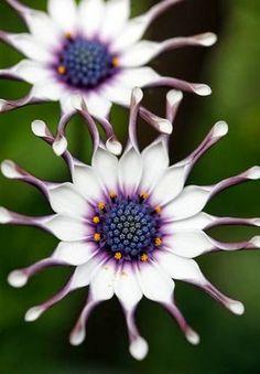Osteospermum / The Ultimate Photos