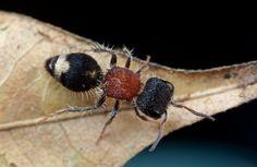 Velvet ant (Radoszkowskius oculata?) | Flickr - Photo Sharing!