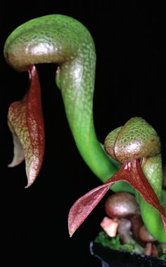Insects, fish and even lizards have fallen victim to the gaping jaws of the world's scariest carnivorous plants.