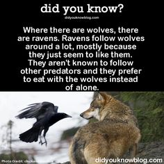 Where there are wolves, there are ravens. Ravens follow wolves around a lot, mostly because they just seem to like them. They aren't known to follow other predators and they prefer to eat with the wolves instead of alone