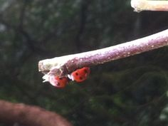 Early Sign of spring at the Kitchen Garden - a great gardening ally against aphids! http://www.harrodhorticultural.com/stephanies-kitchen-garden-diary-ctid4.html