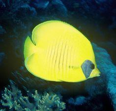 Chaetodon semilarvatus  #yellow, #fish