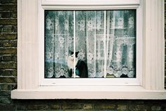 lace curtain cat