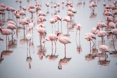 Best of Cyprus - Best Things To Do and See Flamingos in Cyprus Travel Around The World, Around The Worlds, Cyprus Paphos, Cyprus Island, Cyprus Holiday, Visit Cyprus, English Castles, 17th Century Art, Architecture Tattoo