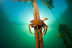NORTHERN KELP CRAB, PUGETTIA PRODUCTA, CLINGING TO A KELP STALK. BY PAUL NICKLEN