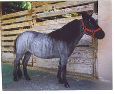 Blue Roan Brindle Miniature Horse mare Lullaby owned by Brass Ring Miniature Horses