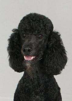 423 Best Oodles of Poodles! images in 2019 | Poodle, Dogs