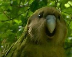 I give you the world's rarest parrot the Kakapo - Imgur