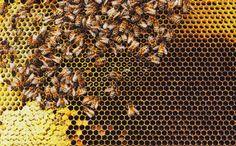O Serviço de Pesca e Vida Selvagem dos EUA anunciou em janeiro que estava colocando as abelhas mamangabas na lista de espécies ameaçadas.