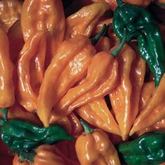 Hungarian Fatalii Chili Pepper, Very Hot and Interesting Shape, 150 Seeds