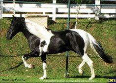 Mangalarga Marchador stallion Palhaço VJ