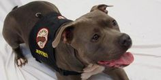 Rescued pit bull therapy dog and Sandy Hook student share special bond