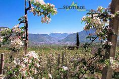 Herrliches Panorama - Blühende Äpfelbäume und dahinter der Schlern