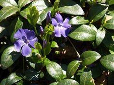 Vinca minor Pikkutalvio, hyvä maanpeittokasvi, varjoon ja aurinkoon. Myrkyllinen.