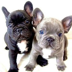 French Bulldog Puppies ❤