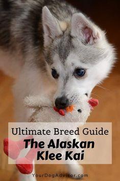 Best Dog Breeds, Small Dog Breeds, Best Dogs, Alaskan Klee Kai, Dog Training Bells, Spitz Dogs, Dog Varieties, Dog Facts, Purebred Dogs