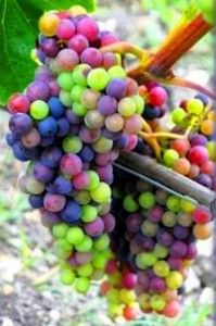 I'd love to have these grapes growing in my backyard someday.