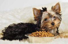 Quanti vivono Yorkshire Terrier? 14 foto Come estendere la loro aspettativa di vita a casa? Da cosa dipende il numero di anni?