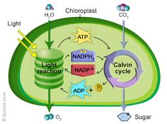 Functions of chloroplast. A diagram of how photosynthesis works.