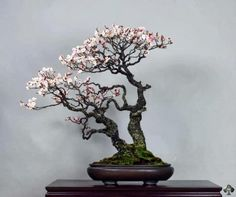 A Prunus Mume (Japanese Apricot) with tiny white flowers. By: Michael Bonsai