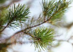 Tender pine-trees by vaprintables on @creativemarket