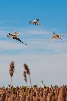 SD pheasants #upland #Bird #hunting
