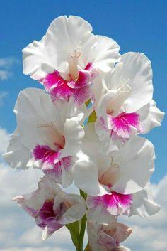51 Ideas for art deco flowers irises Art Deco Flowers, All Flowers, Exotic Flowers, Amazing Flowers, Beautiful Flowers, Gladiolus Flower, Flower Petals, My Flower, Flower Power