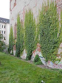 Boston Ivy Vine Parthenocissus tricuspidata (Japanese Creeper)
