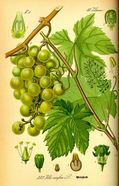 Grape seed oil, also known as grape oil, and is obtained from the various varieties of grapes seeds. Grape seed oil benefits have been known for their. Vintage Botanical Prints, Botanical Drawings, Botanical Art, Botanical Illustration, Impressions Botaniques, Flora, Illustration Botanique, Coconut Oil Uses, Vitis Vinifera