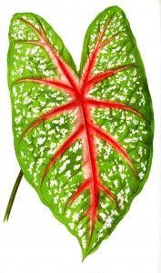 Botanical - Leaf - Floral World and Garden Guide 1876 -  Caladium leaf