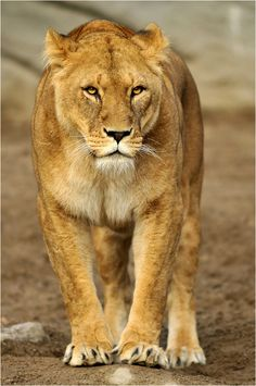 Flame was walking with Rain and Brave when she saw a gazelle and immediately got into the stalking position and crept forward. Lion Pictures, Animal Pictures, Animal Dictionary, Big Cat Species, Animals And Pets, Cute Animals, Lion Africa, Lion And Lioness, Lion Love
