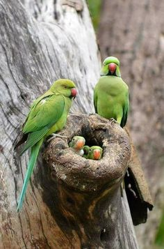 Indian Rose-ringed Parakeet(Parrot) Best talking Parakeets can learn & say up to 250 words! Kinds Of Birds, All Birds, Cute Birds, Pretty Birds, Beautiful Birds, Animals Beautiful, Cute Animals, Beautiful Family, Angry Birds