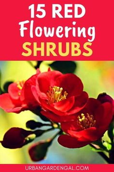 Shrubs with red flowers are great for brightening up the garden. Here are 15 stunning red flowering shrubs to plant in your flower garden. #flowers #shrubs #flowergarden