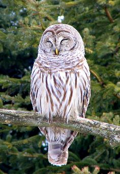 Barred Owl photo: Individual roosting on branch. | the Internet ...