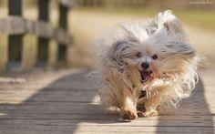 Biegnący, Pies, Po, Moście