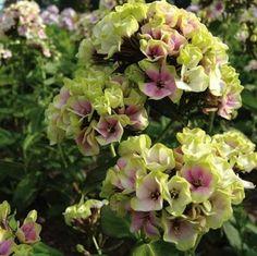 OVANLIG Höstflox väldoft m vackert 3 färg blommor Blmr. Phlox Sheperd Lättskött perenn  vacker flerfärg väldoft höstflox i blommor som skiftar fr gult till lavendel till grön/vit i enorma klasar  Blir ca 70 cm hög & blommar ca Aug-Sept, Vill stå isol-Hsk i trivs i de flesta jordar. Ska vara härdig i hela landet