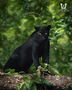 """The """"black panther"""" is a black jaguar in the Americas or a black leopard in Asia and Africa. Photo by: Nature Animals, Animals And Pets, Cute Animals, Wild Animals, Baby Animals, Beautiful Cats, Animals Beautiful, Gorgeous Eyes, Panther Leopard"""