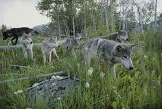 Jim and jamie dutcher sawtooth mountain Wall Decals A Group of Gray Wolves - 24 inches x 16 inches - Peel and Stick Removable Graphic Wallmonkeys Wall $29.99 + $3.99 shipping Decals http://smile.amazon.com/dp/B00E8Q6QC8/ref=cm_sw_r_pi_dp_Qg59tb1FHC36G